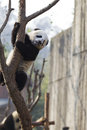 Panda Climbing Royalty Free Stock Photo