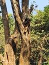 Panda climbing on tree.