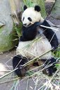 Panda a cute adorable lazy adult giant bear eating bamboo the ailuropoda melanoleuca is distinct by the large black patches around Stock Images
