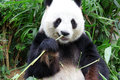 Panda eat Royalty Free Stock Photo