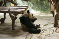 Panda eating bamboo in the exhibit Royalty Free Stock Photo
