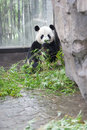 Panda eating bamboo leaf Royalty Free Stock Images
