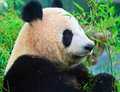Panda eating bamboo leaves Stock Images
