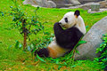 Panda eating bamboo leaves at ocean park hong kong Royalty Free Stock Photos
