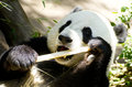 Panda Eats Regular Diet of Bamboo Shoots Royalty Free Stock Image