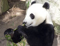 Panda Eats Regular Diet of Bamboo Shoots Royalty Free Stock Photos