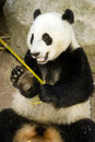 Panda Eats Regular Diet of Bamboo Shoots Stock Images