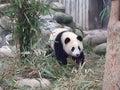 Panda in an enclosure Royalty Free Stock Photo