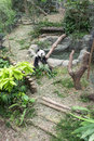 Panda exhibit giant in singapore river safari Stock Images