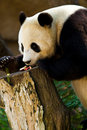 Panda feeding time Royalty Free Stock Images