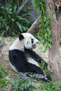 Panda giant eating bamboo in the exhibit Stock Photography