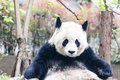 Panda (Giant Panda) Royalty Free Stock Photo