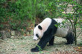 Panda giant strolling in the exhibit Stock Images
