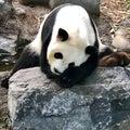 Panda Bear sleeping on a rock