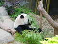 Panda at the singapore zoo feeding on bamboo leaves zoological gardens Stock Photo