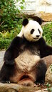 Panda sitting down enjoying peace and quiet Stock Photography