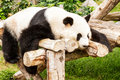 Panda sleeping chinese giant on the timber Stock Images