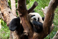 Panda sleeping on a tree Royalty Free Stock Image