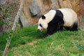 Panda walking Stock Photography