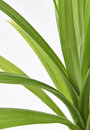 Pandan feash plant leaves a close up of the in a pot Royalty Free Stock Image