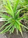Pandan leaves green in garden Stock Photo