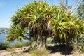 Pandanus Aquaticus Tree Royalty Free Stock Photo