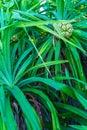Pandanus palm (Pandanus amaryllifolius) tree with fruits, Maldiv Royalty Free Stock Photo