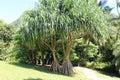 Pandanus tectorius, hala Royalty Free Stock Photo