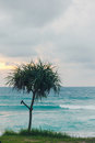 Pandanus tree Royalty Free Stock Photo