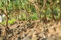 Pandanus Royalty Free Stock Photo