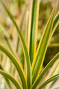 Pandanus variegated dangerous spiny leaves Stock Photography