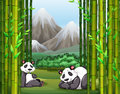 Pandas and bamboo forest