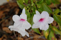 Pandorea jasminoides, Bower of Beauty, Bower Vine Royalty Free Stock Photo