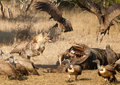 Hyena fight Royalty Free Stock Photo