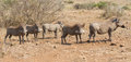 Pano image of warthog family standing in dry bush looking for food Royalty Free Stock Image