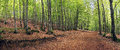 Panorama of beech forest in spring Royalty Free Stock Image