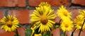 Panorama blossoming doronicum. Royalty Free Stock Photo