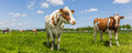 Panorama of cows in a meadow Royalty Free Stock Photo