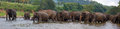 Panorama of elephant herd in water Royalty Free Stock Photo