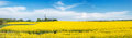 Panorama of the field with rape. Royalty Free Stock Photo