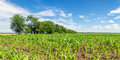 Panorama of fields with sprouts of corn in the summer, Russia Royalty Free Stock Photo