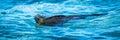 Panorama of marine iguana swimming in shallows Royalty Free Stock Photo