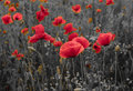 Panorama of poppies and wild flowers, selective color, red and b Royalty Free Stock Photo