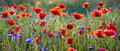 Panorama of red poppies Royalty Free Stock Photo