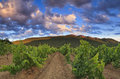 Panorama of the vineyards at sunset Stock Photos