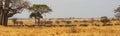 Panorama of wildebeast herd grazing