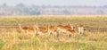 Picture : Panoramic of red lechwe herd wadi