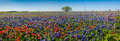 A panoramic view of a beautiful field of texas wildflowers wide angle high resolution covered with bluebonnets and indian Stock Photography