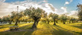 Panoramic view of sunset behind grass field and olive trees Royalty Free Stock Photo