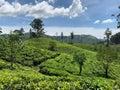 Panoramic view of undulating te fields Royalty Free Stock Photo